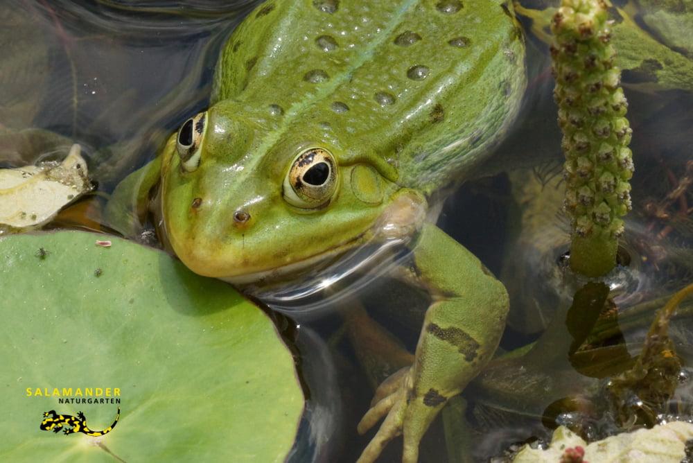 Wasserfrosch, Pelophylax