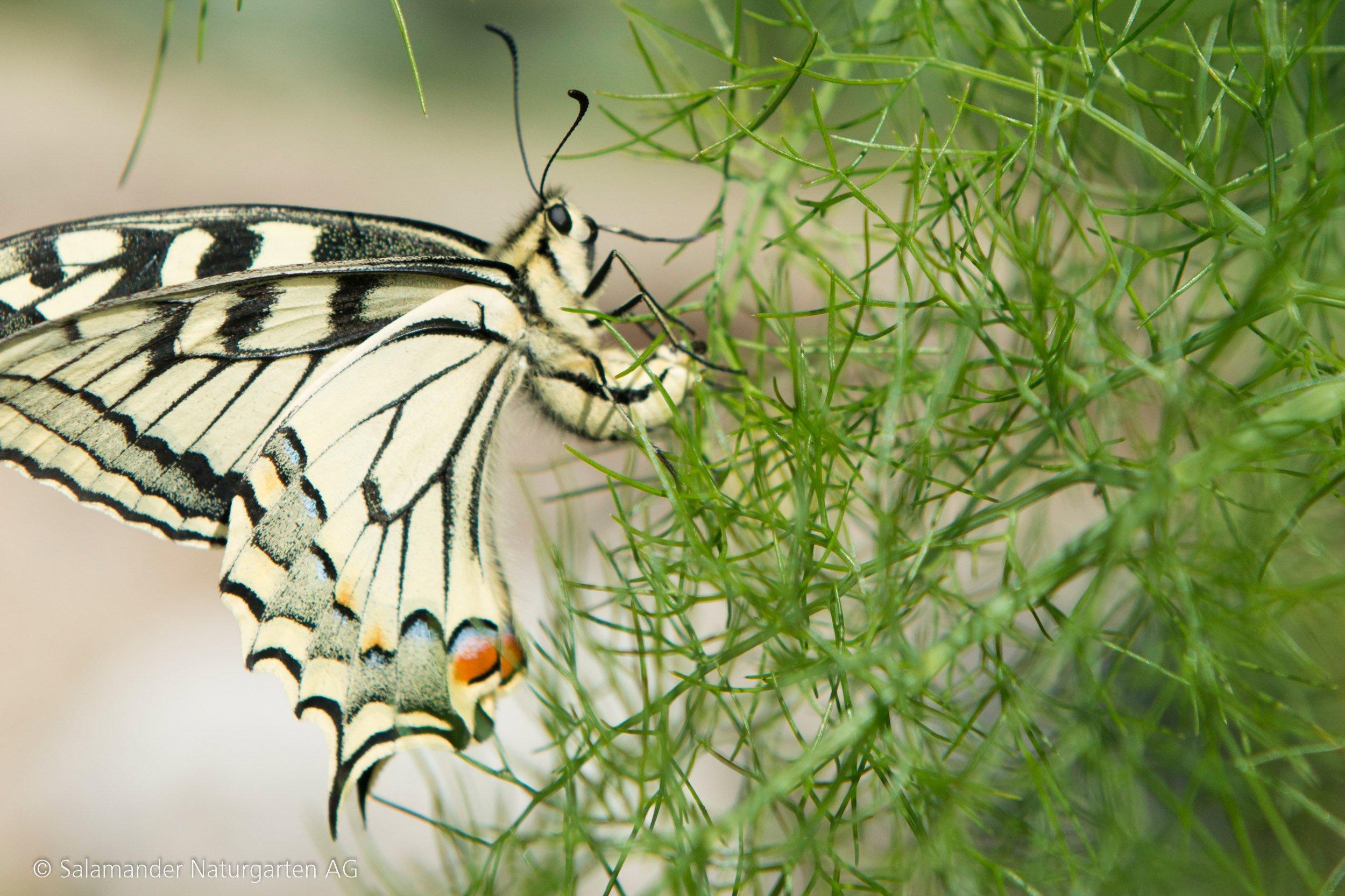 Schmetterling an Fenchel oder Dill
