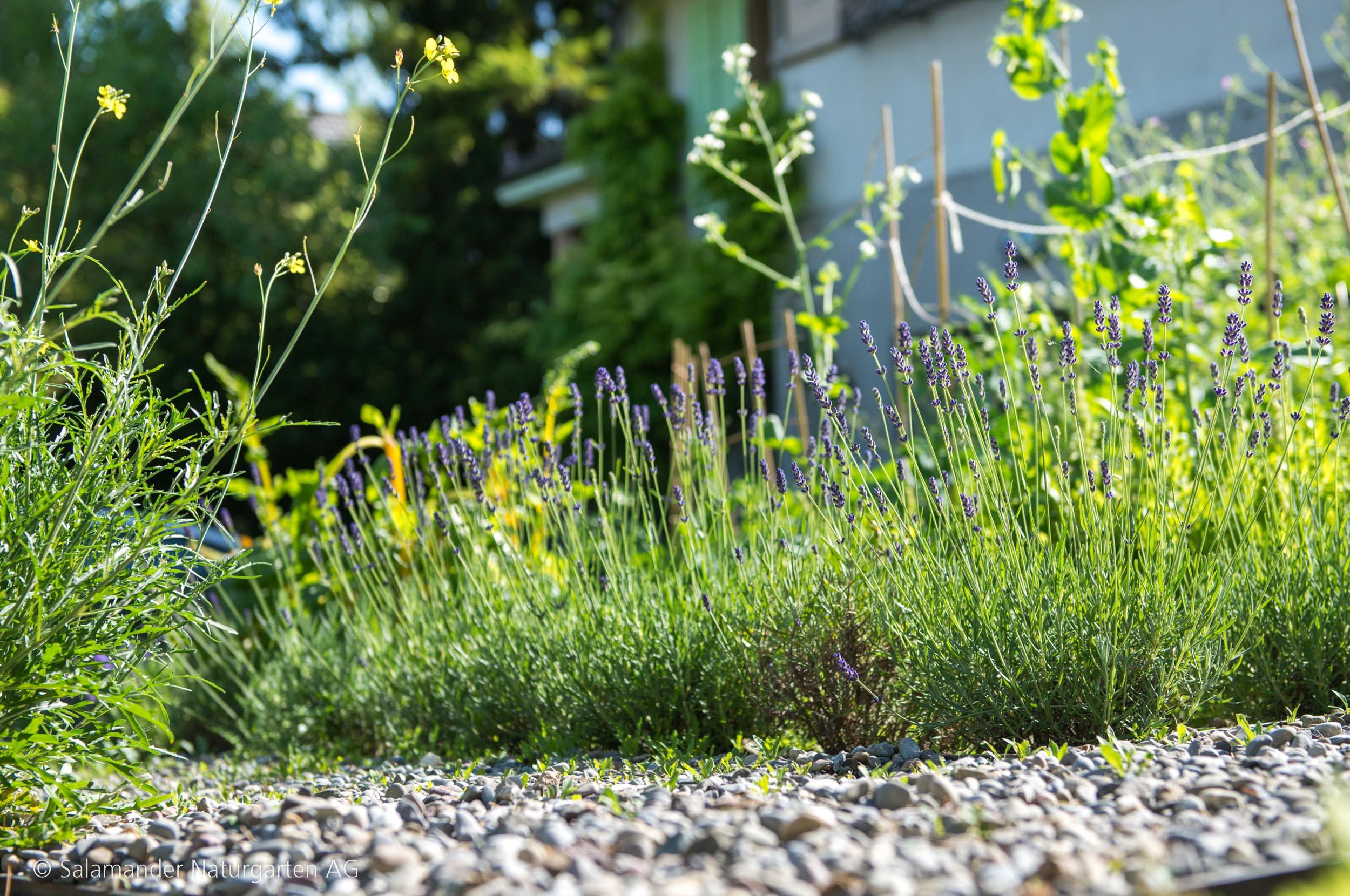 Lavendel Kies Garten