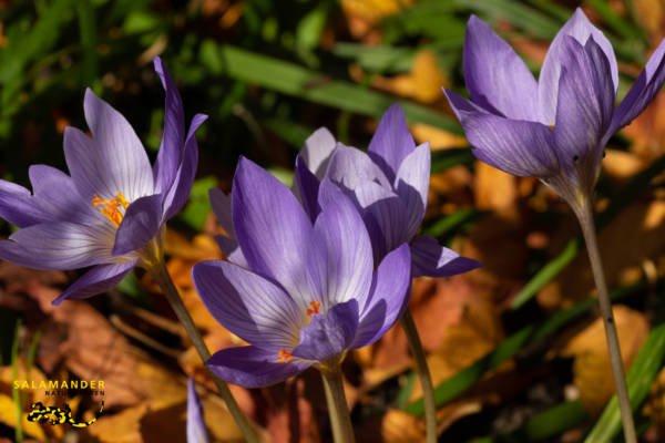 Herbstblüher, Herbstkrokus, Crocus speciosus