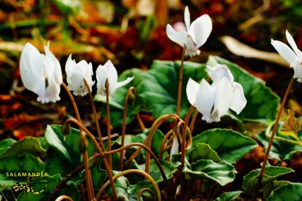 Herbstblüher Efeublättriges Alpenveilchen Cyclamen hederifolium