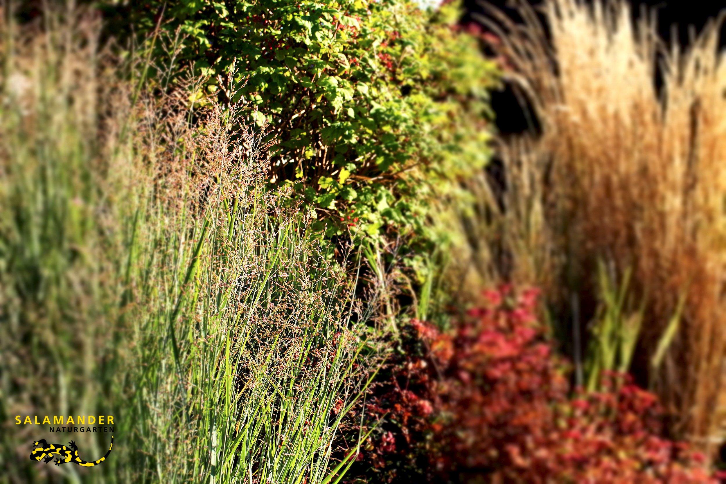 Herbstgräser, Herbstblüher, Herbststimmung, einheimische Gräser