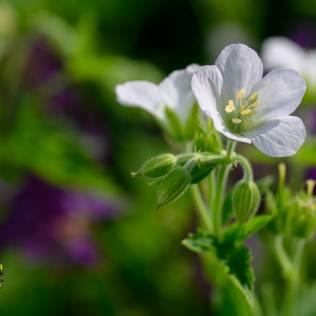 Wald-Storchschnabel, Geranium sylvaticum 'Album', Garten auf Augenhöhe
