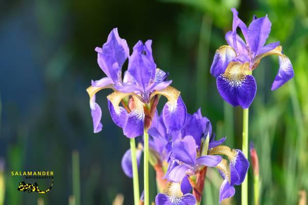 Iris sibirica, Schwertlilie, Garten auf Augenhöhe