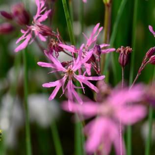 Silene flos-cuculi, Kuckucks-Lichtnelke, Garten auf Augenhöhe