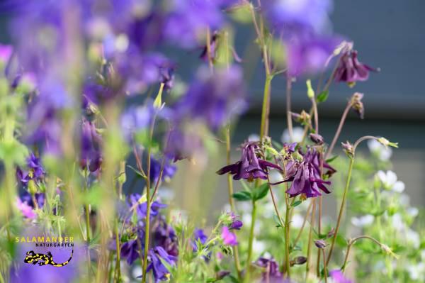 Aquilegia atrata, Schwarzviolette Akelei, Garten auf Augenhöhe