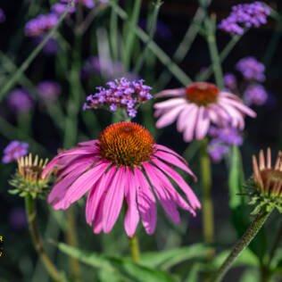 Echinacea im Bilderbuch-Naturgarten