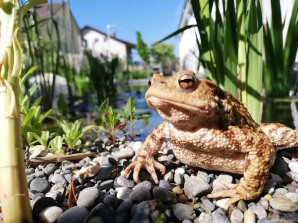 Erdkröte im Salamander Showgarten