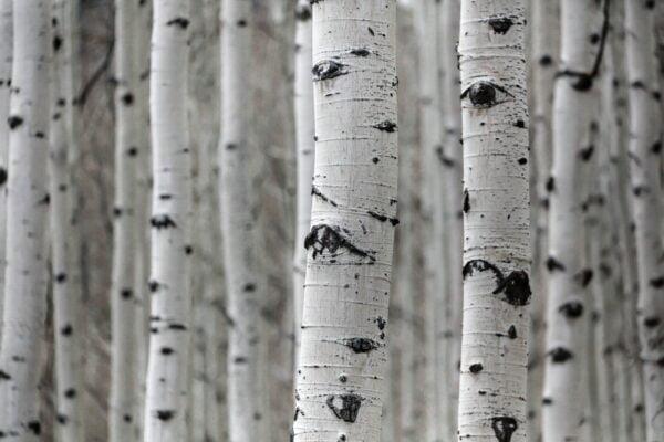 Birke Baumschnitt im Spätwinter