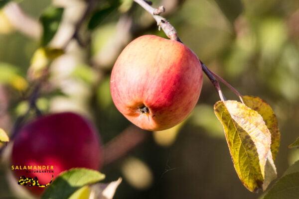 Spätwinterschnitt Apfelbaum