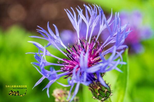 Kraft der Farben Kornblume Centaurea cyanus