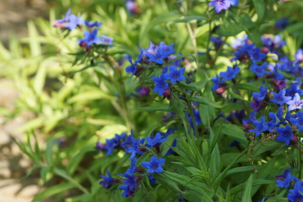 Kraft der Farben Blau Blaue Steinsame Buglossoides purpurocaruleum