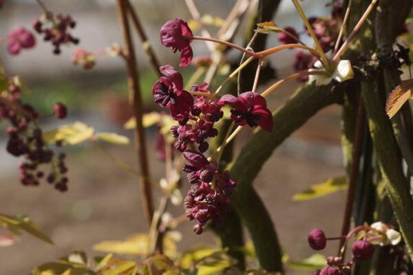 Kraft der Farben Braun Fingerblättrige Akebie Akebia quinata