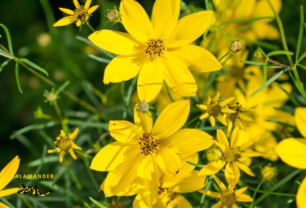 Kraft der Farben Gelb Mädchenauge Coreopsis verticillata