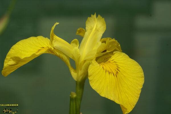 Kraft der Farben Gelb Gelbe Sumpfschwertlilie Iris pseudacorus