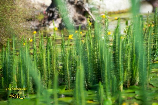 Kraft der Farben Grün Gemeiner Tannenwedel Hippuris vulgaris