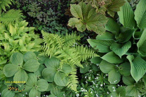 Kraft der Farben Grün Galium odoratum Hosta Paris quadrifolia Rodgersia aesculifolia