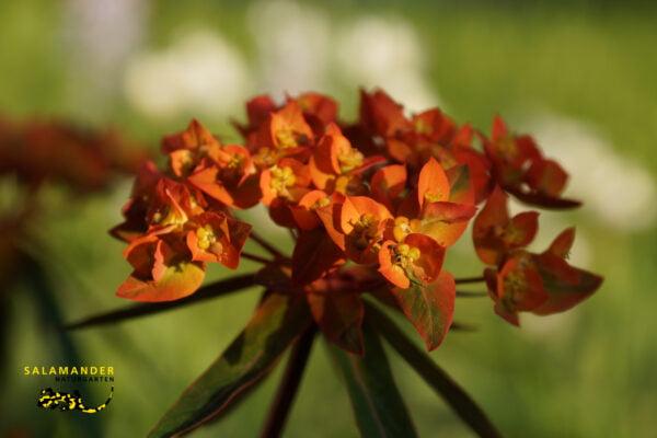 Kraft der Farben Griffiths-Wolfsmilch (Euphorbia griffithii 'Fireglow')