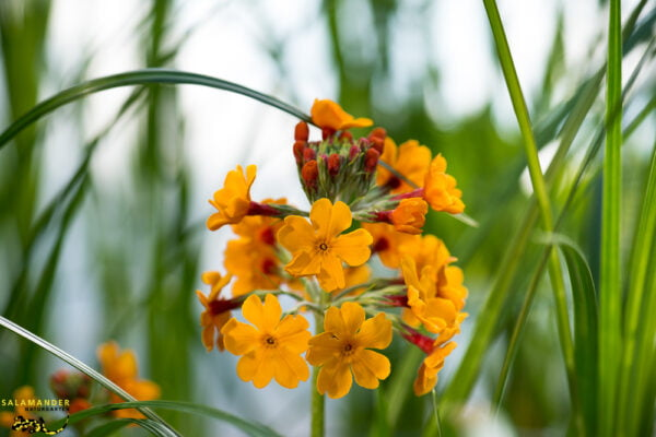 Kraft der Farben Orange Etagen Primel Primula bullesiana