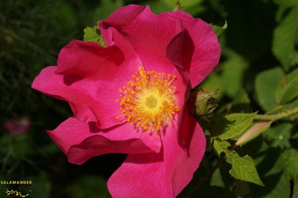 Kraft der Farben Roas Essig Rose Rosa gallica