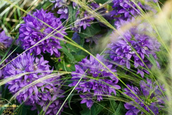 Kraft der Farben Violett Knäuel Glockenblume Campanula glomerata
