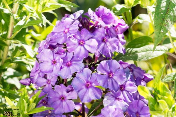 Kraft der Farben Violett Staudenphlox Phlox paniculata