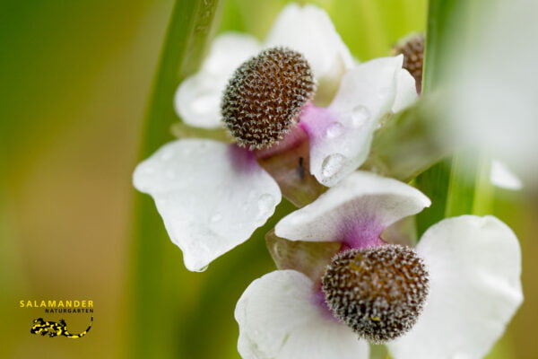 Kraft der Farben Weiss Pfeilblatt Sagittaria sagittifolia